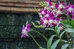 紫色兰花,泰国 免版税库存图片