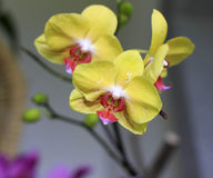 黄色兰花-兰花植物 库存照片