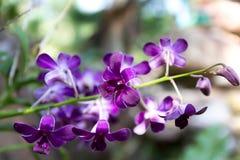 紫色兰花 免版税库存图片
