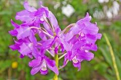 紫色兰花 库存图片