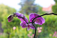紫色兰花 免版税库存照片