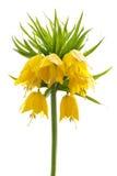 黄色冠皇家在白色背景 免版税库存图片