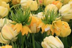 黄色冠皇家郁金香明亮和快乐的风景  免版税库存照片