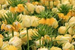 黄色冠皇家郁金香的华美的图象 免版税库存图片