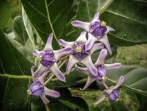 紫色冠花有绿色背景 库存照片