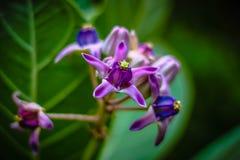 紫色冠花 库存图片