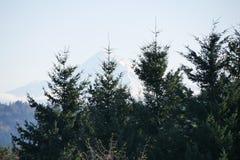 绿色冷杉木在俄勒冈 库存照片