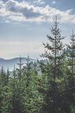 绿色冷杉森林 免版税库存图片