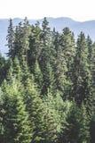绿色冷杉森林 库存图片