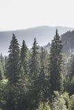 绿色冷杉森林 免版税库存照片
