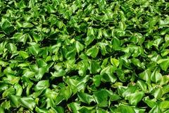 绿色凤眼兰在池塘增长 免版税图库摄影