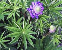 紫色凶猛花在草甸 图库摄影