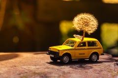 黄色出租汽车玩具运载一个蒲公英 与玩具汽车的一个有趣的故事 阳光 免版税库存照片