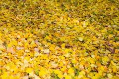 黄色划分为的叶子 秋天金黄公园 库存图片