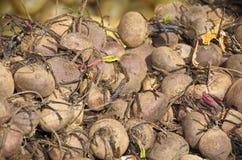 以色列市场产物:甜菜根 免版税图库摄影
