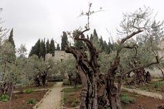 以色列耶路撒冷 - 2月15日 2017年 庭院gethsemane 耶稣基督的` s地方祈祷在拘捕的夜 免版税图库摄影