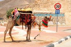 以色列骆驼 免版税库存照片