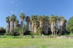 以色列 - 2月17日 2017年 加利利海的岸的棕榈树丛在以色列 库存照片