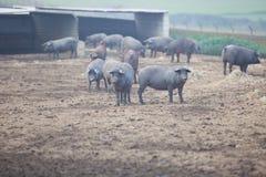 黑色利比亚猪 库存图片