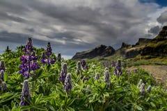紫色前景 库存图片