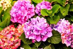 紫色剥落 免版税库存图片