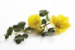 黄色加州弗瑞蒙木花(Fremontodendron) 免版税图库摄影