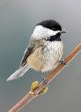 黑色加盖的山雀- Poecile atricapillus 免版税库存图片