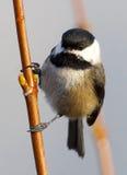 黑色加盖的山雀- Poecile atricapillus 库存照片