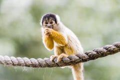黑色加盖的猴子灰鼠 免版税图库摄影