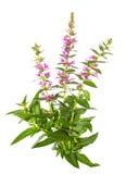 紫色千屈菜属植物 图库摄影