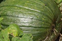 绿色南瓜生长 库存照片