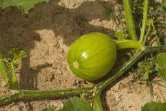 绿色南瓜 免版税图库摄影