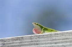 绿色卡罗来纳州Anole蜥蜴 免版税图库摄影
