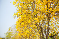 黄色印地安树在Sa Merng, Chiangmai,泰国中 库存照片
