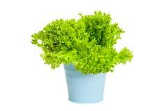 绿色卷曲沙拉植物在蓝色罐的 免版税库存照片