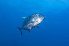 黑色原油鱼 免版税库存图片