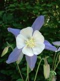 紫色双色的花和的白色 免版税库存图片