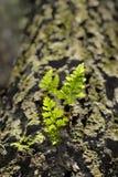 绿色发光的Pines's叶子 库存图片