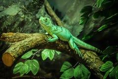 绿色变色蜥蜴 库存照片