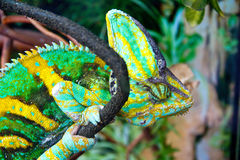 绿色变色蜥蜴 图库摄影