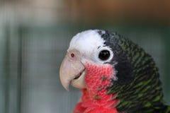 绿色古巴人亚马逊金刚鹦鹉 库存照片