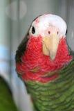 绿色古巴人亚马逊金刚鹦鹉 免版税库存照片