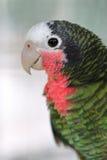 绿色古巴人亚马逊金刚鹦鹉 免版税图库摄影