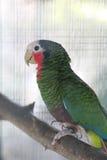 绿色古巴人亚马逊金刚鹦鹉 免版税库存图片