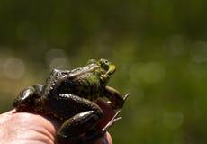 绿色可食的青蛙在一只手上有绿色背景 免版税库存照片