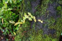 绿色叶子、青苔和地衣在大树干在豪华的日语 免版税库存图片