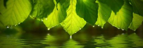 绿色叶子全景有雨珠的 反射在水中 免版税库存图片
