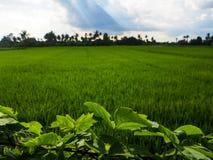绿色叶子和农村米调遣与树剪影,蓝色s 免版税图库摄影