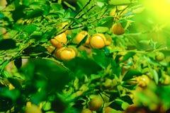 绿色叶子和在结构树的成熟桔子 免版税库存图片