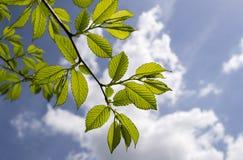 绿色叶子和多云天空 免版税库存图片